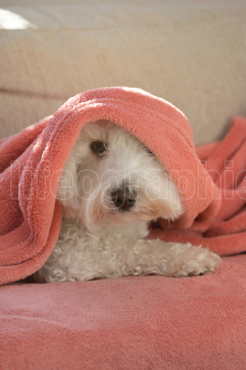 Maltese dog under blanket