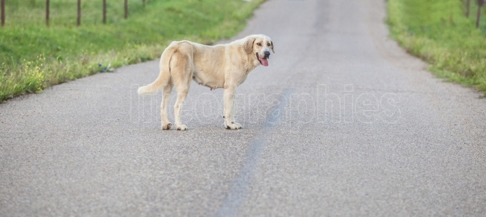 Mastiff dog in the middle of country road
