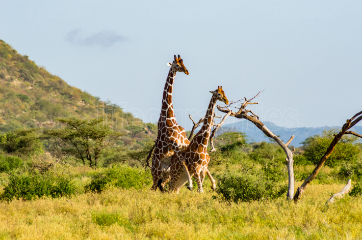 Mating of two giraffes in the savannah