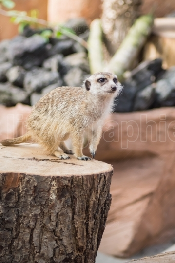 Meerkat standing on a tree trunk standing guard