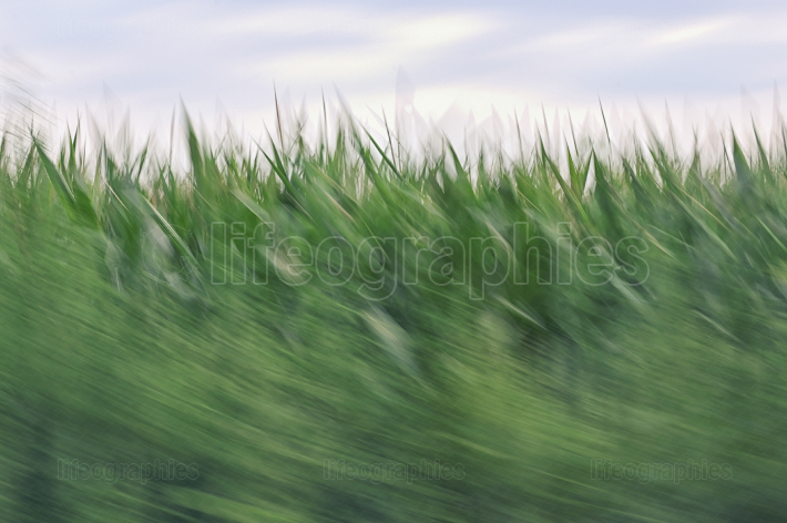 Motion blur on corn field
