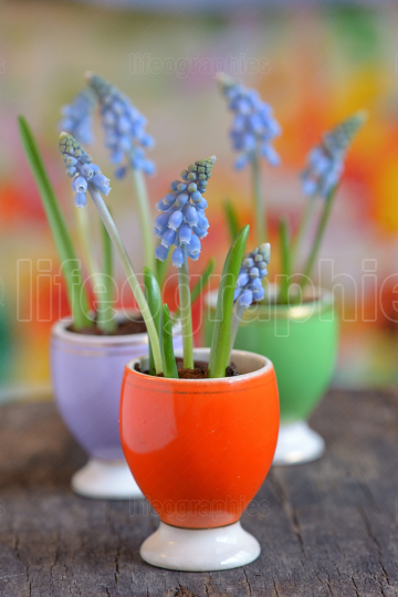 Muscari armeniacum flowers