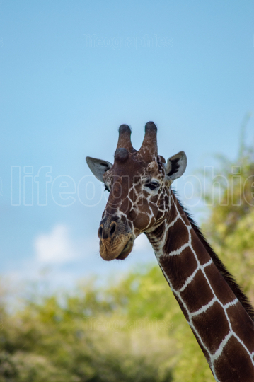 Neck and head of a giraffe