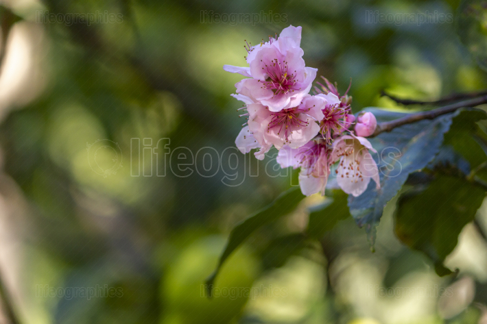 Nectarine blooming flowers