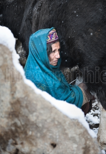 Old lady milking yak