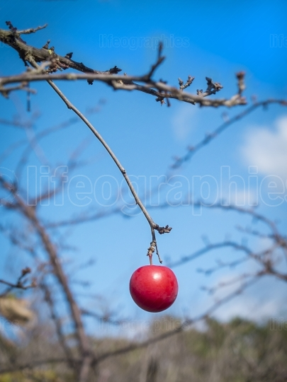 One red plum