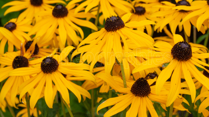 Orange Coneflower, Rudbeckia fulgida