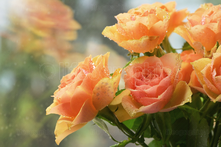 Orange English Rose