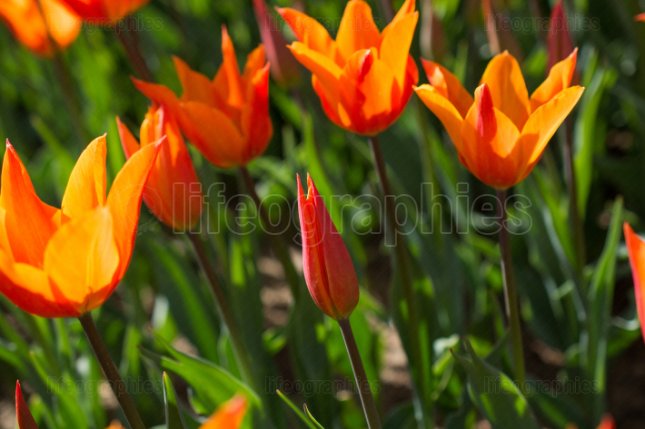 Orange tulips in nature in spring