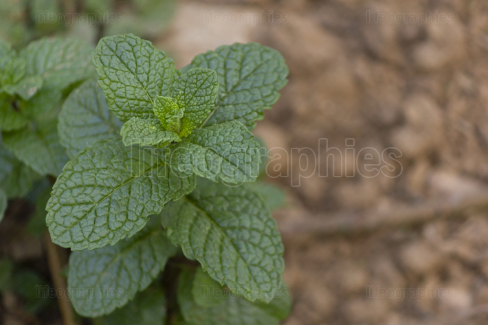 Organic bio mint plant close up, with space for quote