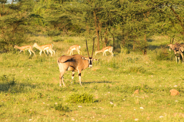 Orix with impalas in the savannah