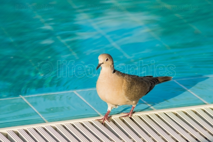 Pigeon at the edge of a pool along the water with attentive