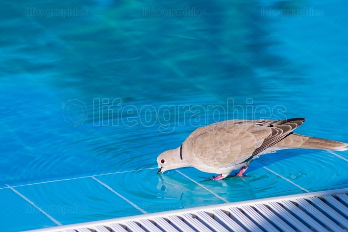 Pigeon at the edge of a swimming pool with its beak in the water