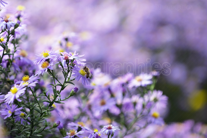 Pollination Of Violet Flowers Aster