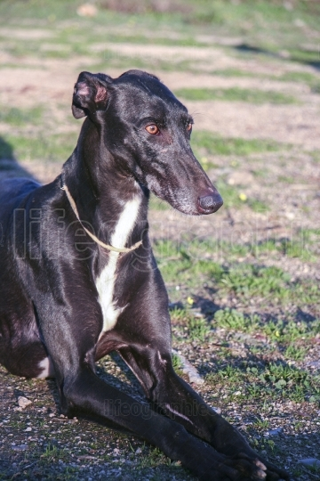 Purebreed young spanish greyhound also called in Spain as Galgo