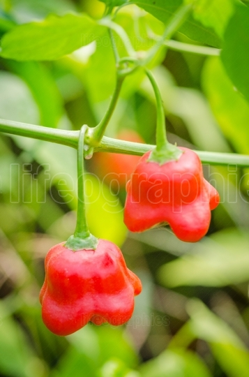 Red chili pepper growing