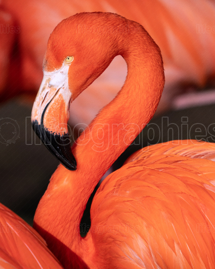 Red flamingo, Phoenicopterus ruber