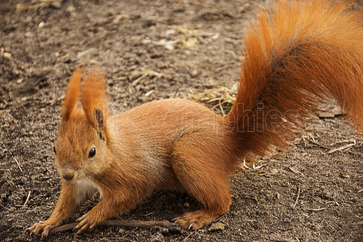 Red squirrel on the ground looking at the camera