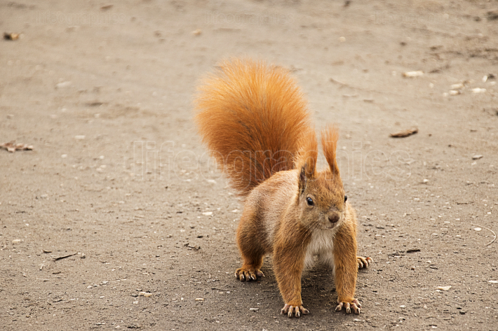 Red squirrel on the ground ready to escape