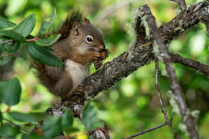 Red Squirrel, Tamiasciurus hudsonicus