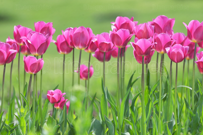 Red Tulips on field in spring