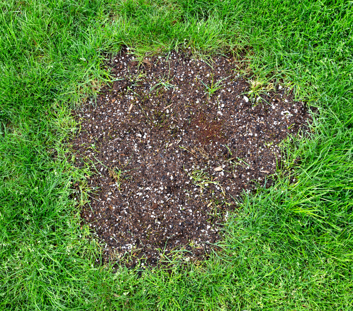 Repair patch on natural grass lawn