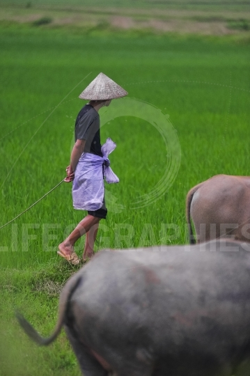 Ricefield with buffalo and worker