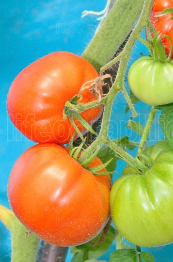 Ripe red and unripe tomatoes