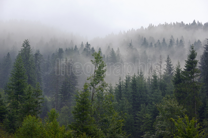Romania foggy forest on mountain