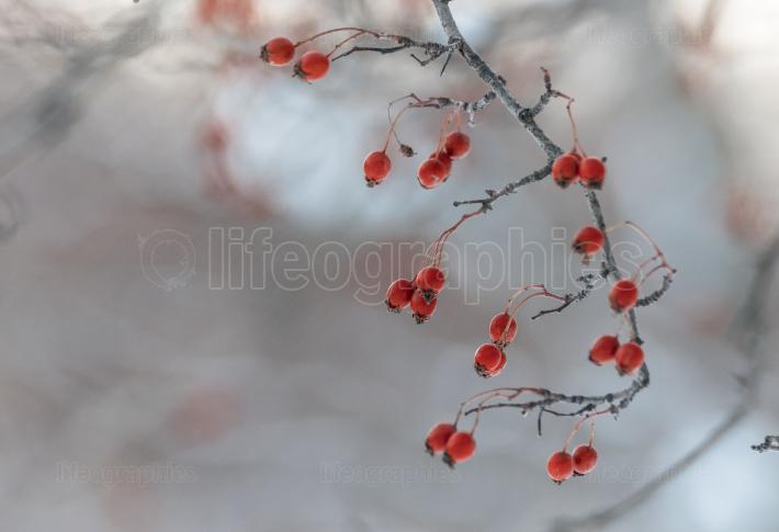 Rosa Canina fruits on branch