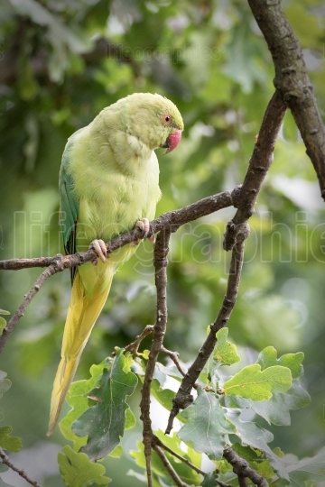 Rose-Ringed Parakeet in tree. (Psittacula Krameri)
