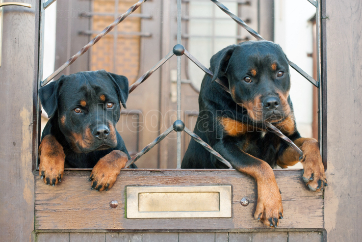 Rottweilers sitting on gate