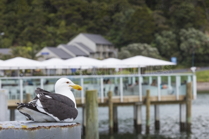 Seabird at Russell city. New Zealand.