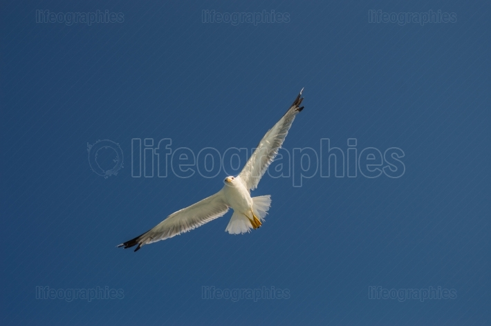 Seagull in flight with wings spread from below under