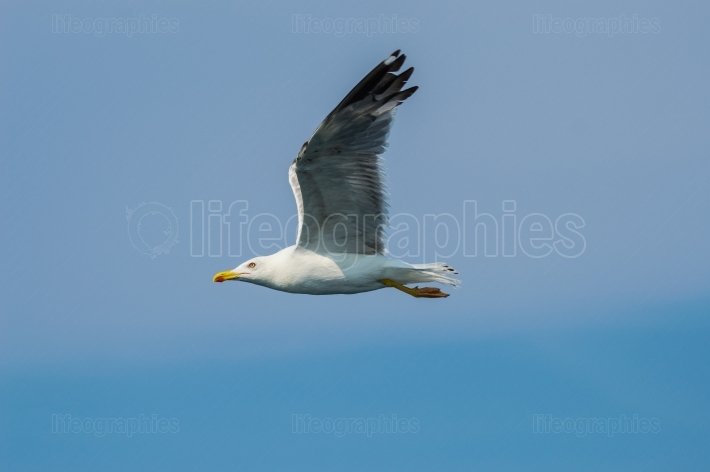 Seagull in flight with wings spread in profile