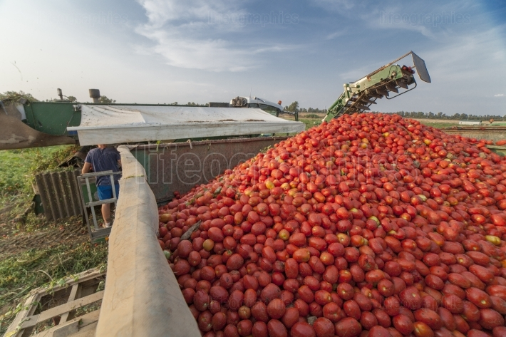Self propelled harvester collects tomatoes in trailer  Vegas Baj