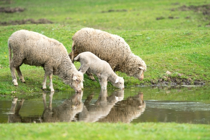 Sheep and lamb drinking water