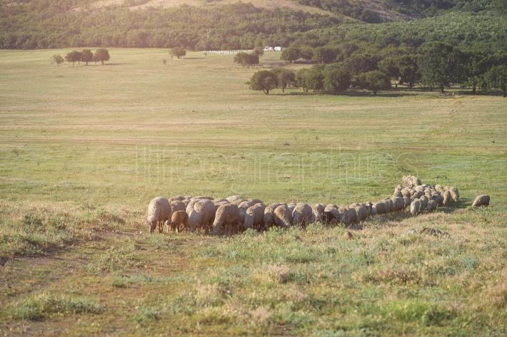 Sheep grazing in summer time