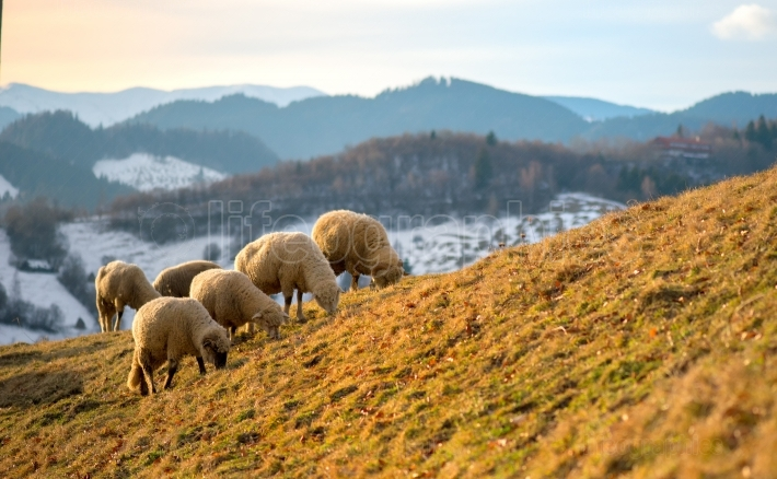 Sheep grazing in winter time