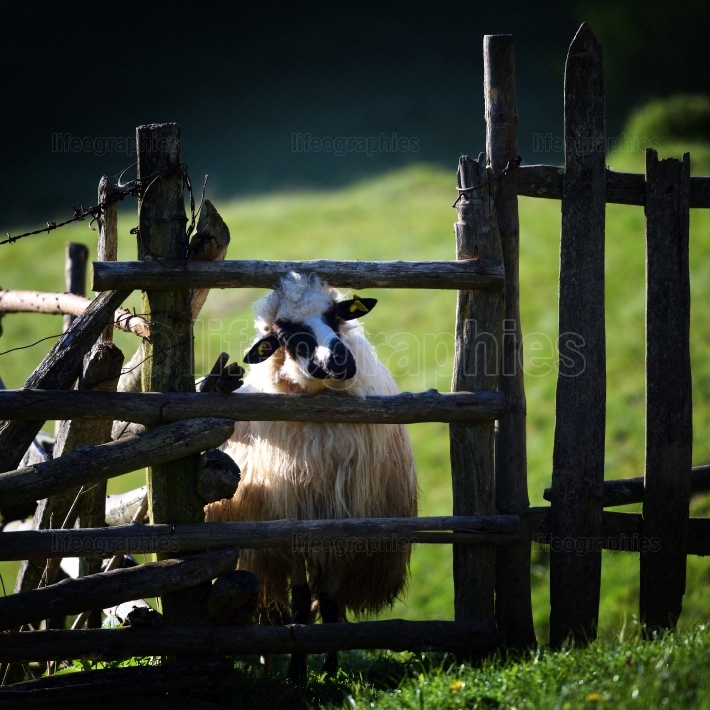 Sheep standing by wooden fence