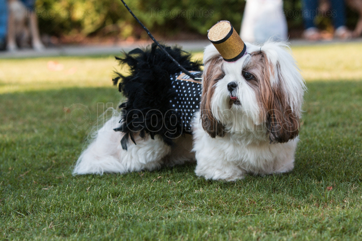 Shih Tzu Wears Cigarette Girl Costume At Festival Pet Parade