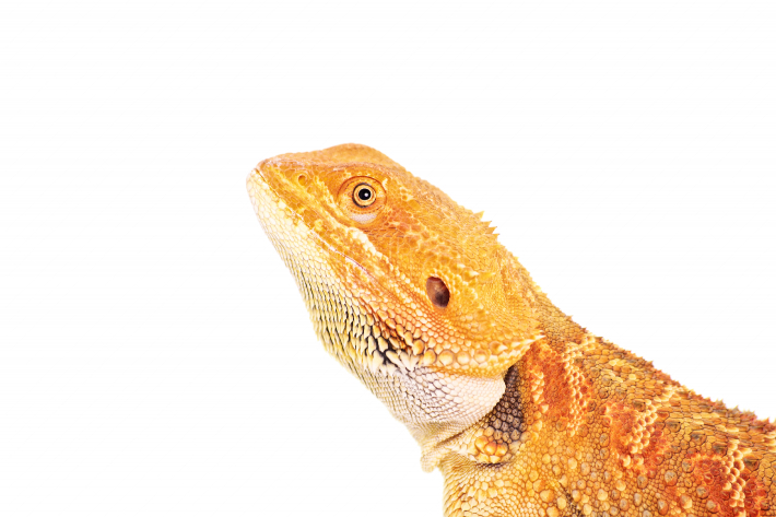 Side view of a bearded dragon