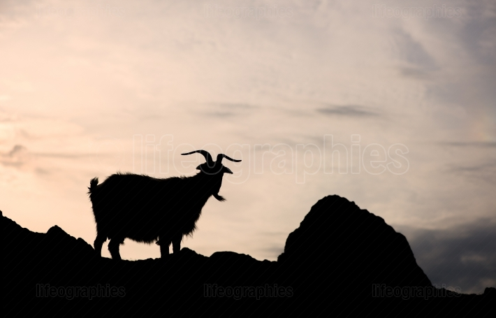 Silhouette of one single goat on a rock in orange sunset background