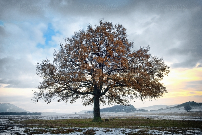 Single oak in the winter time
