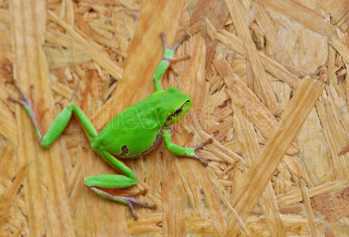 Small green tree frog hold on oriented strand board