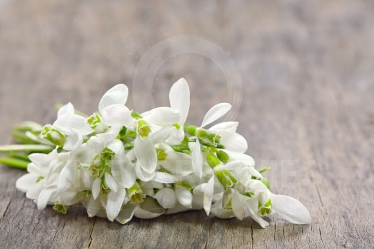 Snowdrops bucket on wooden background