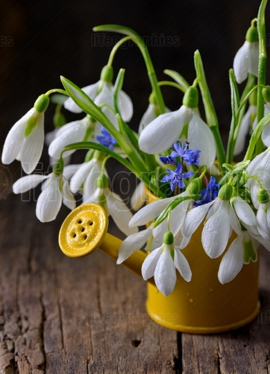 Snowdrops in decorative yellow bucket