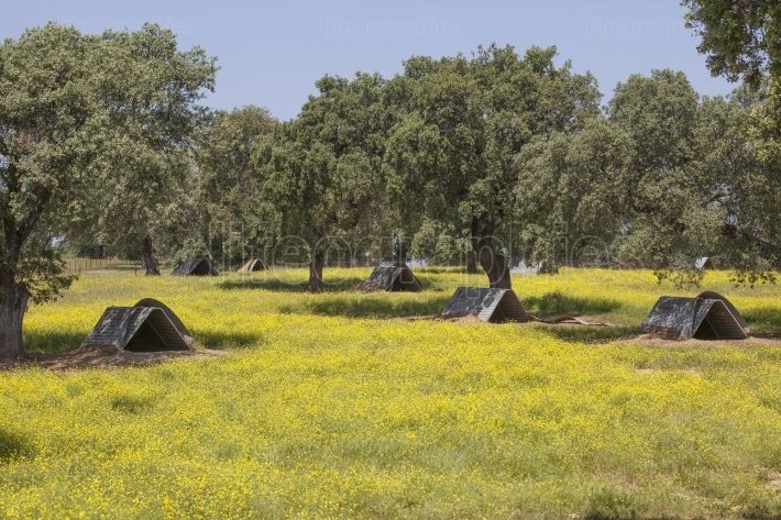 Sow huts on dehesa for black iberian pigs