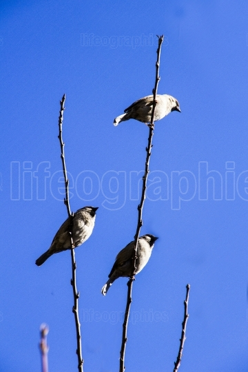 Sparrows on branch