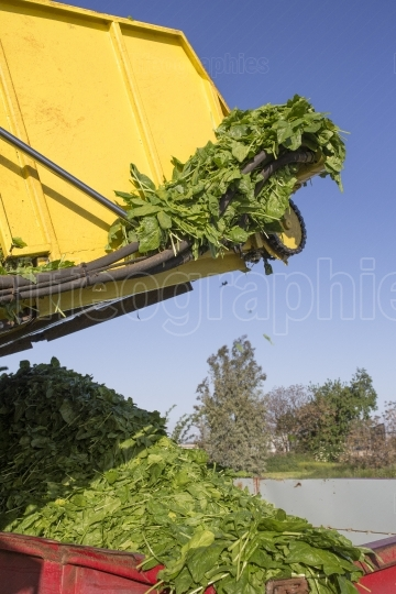 Spinach harvester loading trailer